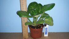 """African Violet """" LE - Origami """"UsambaraveilchenGroße Pflanzen."""