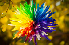 50 seeds of Rainbow chrysanthemum flowers Novel home garden bonsai Tricolor