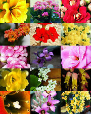FLOWERING KALANCHOE MIX rare plant exotic cactus flower succulent seed 100 seeds