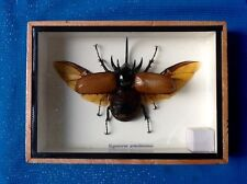 REAL EXOTIC HUGH 5 HORN RHINO BEETLE EUPATORUS GRACILICORNIS TAXIDERMY INSECT
