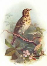 BIRDS. Tree Pipit  1901 old antique vintage print picture