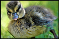 Cute Duckling - Poster Print - Enhanced Watercolor Art - FREE FAST SHIPPING