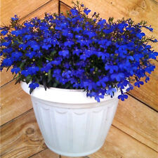 Seeds Lobelia Blue Сascade Flower Annual Indoor Garden Organic Heirloom Ukraine