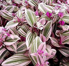 Wandering Jew Tricolor - Tradescantia Fluminensis Lilac Lavender - House Plant