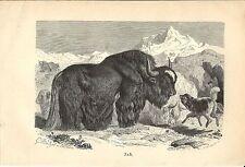 Stampa antica YAK BUE TIBETANO Bos grunniens 1891 Old antique print