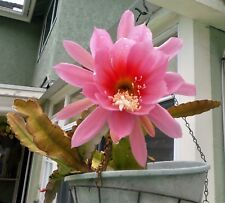 "Orchid Cactus ""Epiphyllum"" blooms with Pink Flowers, 1 Cutting"