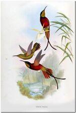 "Vintage John Gould Hummingbird Bee Eater Art CANVAS PRINT~Topaza Pella 18x12"""