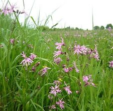 Fleurs sauvages Graines-Ragged Robin - 1500 graines