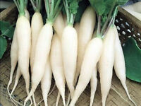 White Radish Seed, White Icicle, Bulk Seeds, Heirloom Seed, 1 oz approx 2750ct