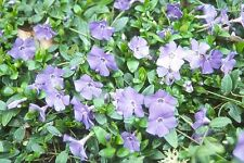 New listing 1 Perennial Periwinkle/Vinca plants evergreen hardy groundcover. Free Shipping!
