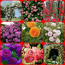 9 DIFFERENT TYPES RARE CLIMBING ROSE SEEDS 5 SEEDS EACH (TOTAL 45 SEEDS)
