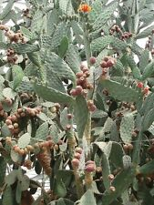 Opuntia tomentosa - Woolly Jointed Prickly Pear - 25 Fresh Seeds