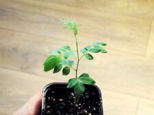 2x Curry leaf tree bare root plants ( Bergera koenigii L.)