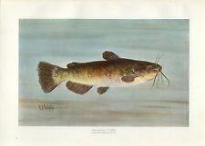 Early 1900s Antique Fish Print ~ Bullhead Catfish