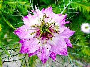 200 Samen ROSA JUNGFER IM GRÜNEN  Nigella damascena Bauerngarten