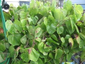 Bulb DIOSCOREA BULBIFERA Air Potato Yam Herb Plant + Phytosanitary *SALE*