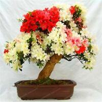 10 Pcs Rare Sakura Bonsai Flower Cherry Blossoms Tree Cherry Blossom Bonsai Plan