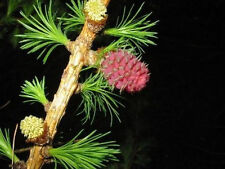 Europäische Lärche (Larix decidua) 50 Samen Heimischer Baum - Winterhart BONSAI