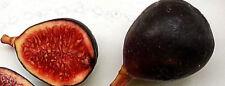 schwaze Baby FEIGE schwarze Zucker Baby - Feige, Ficus carica, süß  Mini black