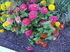 zinnia, BUTTON BOX DWARF ZINNIAS, 200 SEEDS! GroCo - BUY US USA