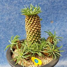 Euphorbia hypogaea B06005 7.5cm POT // Sun /& Moon Succulent