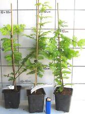 "Metasequoia gl. ""Goldrush""  -   gelber Urweltmammutbaum"
