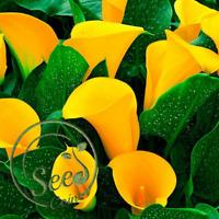 Seeds Calla Lily Yellow Flowers Garden Plants Bonsai Home China Rare 100 Pcs