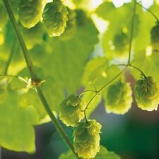 Herb Seeds - Hops - 50 Seeds