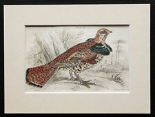 Ruffed Grouse - Game Bird Print, Copperplate Engraving 1840s by Jardine