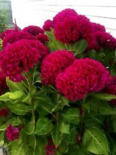 Giant Red Crested Cockscomb Celosia 120 seeds Rare Huge Flowers in one season