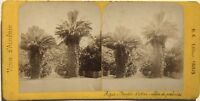 Algeria Algeri Giardino Prova Palmiers Foto Stereo B.K.Parigi Vintage Albumina