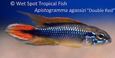 """(1) 1-1.5"""" PAIR Apistogramma agassizi Double Red TR Live Freshwater Tropical"""