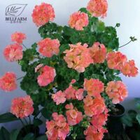 Geranium Pink & Golden Single Dense Petals Big Blooms Bonsai Flower 10pcs Garden