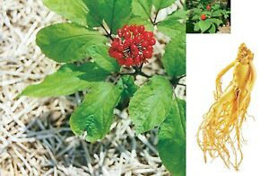 Panax ginseng Korean 50 seeds, ready to germinate, skin opened