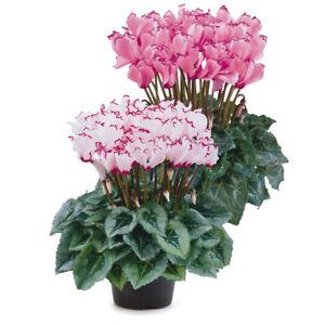 Cyclamen 'Victoria F1 Deco Mix' XL Plug Plant x 2. Winter indoor flower.