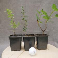 Pack de 3 Pre bonsai, planta de árbol - Higuera, Acebuche y Granado