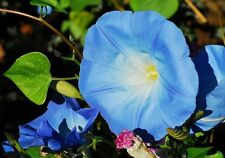 ☺30 graines d ipomée géante bleu azur