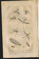Ichneumon, Gad Fly, Tipula, Gnat, Ant, Termes, or Ant of Africa - 1830 Goldsmith