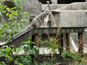 Photo Picture Wild Nature Snow Leopard