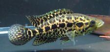 Jaguar Managuense Cichlid Live Freshwater Aquarium Fish