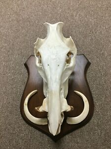Wild Boar Skull & Horns, European Mount