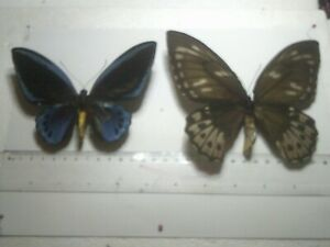 Insect/Butterfly Set Spread B7814 Blue Very Rare Large Pair Papilio.O urvilliana