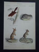 NATURAL HISTORY FLYING SQUIRRELL MARMOT ANTIQUE 1868 PRINT ORIGINAL COLOUR 17x27