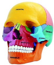 4D Vision Human Anatomical Models Didactic Exploded Skull Model New Arrival