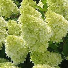 50pcs Vanilla Strawberry-like Hydrangea Flower Seeds Perennial Plants Big Bloom