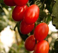 10 Samen Tomate Saladino#321