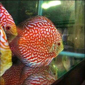 Red Checkerboard discus. A++++ Grade  | UPS Overnight Shipping