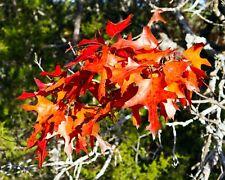 Nuttall Oak Shade Tree (2-3')