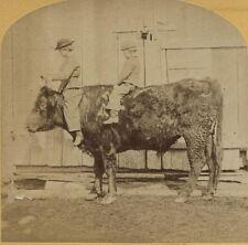 ANTIQUE PHOTO BOYS ON A COW.