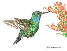 "CAN. Wildlife Broad Billed  Hummingbird Print/Pencil drawing ""8X10"""